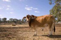 Cow-200