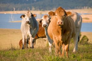 cattle farmland in australia, sunshine coast hinterland, Queensland