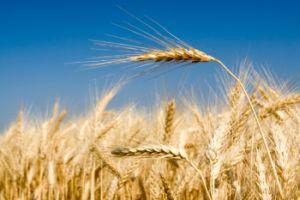 Wheat-300
