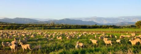 Sheep grazing in the Little Karoo region of South Africa near Oudtshoorn