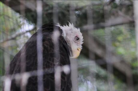 Bald-Eagle-500