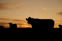 cattle-640985