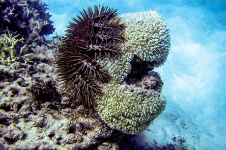 Crown-of-Thorns Starfish (Acanthaster planci), Lizard Island